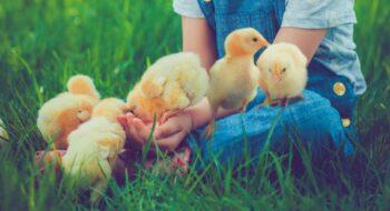 Cute little girl feeding chickens outdoors